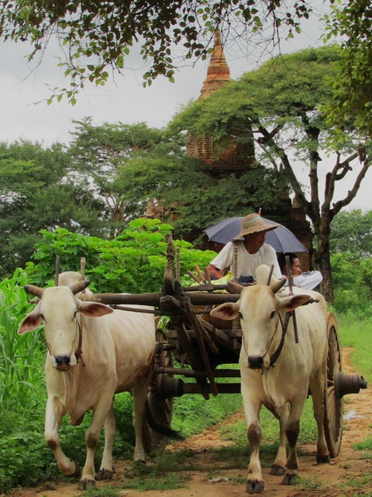 Cow Cart Stupps